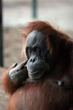 Large brown orangutan Royalty Free Stock Images