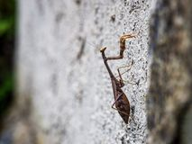 Praying Mantis on Textured Wall, Close Up Selective Focus royalty free stock photo