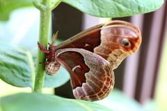 Large Brown and Red Promethea Silkmoth Moth on Milkweed Plant in. A large brown and red rust furry Moth, called a promethea silkmoth is resting on the stalk of a royalty free stock photography