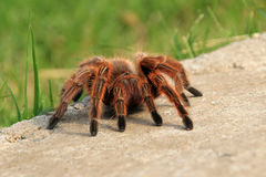 A large brown Rose Hair Tarantula crawling in the garden, Chile Stock Photography