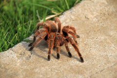 A large brown Rose Hair Tarantula crawling in the garden, Chile Royalty Free Stock Image