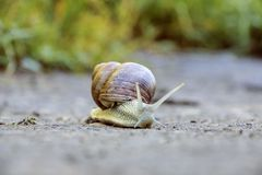 A large brown snail crawls along the sand royalty free stock image