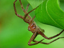 Large Brown Spider With Huge Fangs Stock Photo