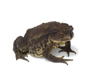Large brown toad isolated Stock Photo