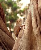 Large Brown Tree Squirrel Stock Photo