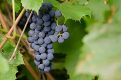 Large brush of ripe black grapes stock photo