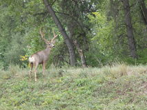 Large Buck Deer Boulder Colorado City limits. Large Buck Deer Boulder, Colorado city limits Royalty Free Stock Photos