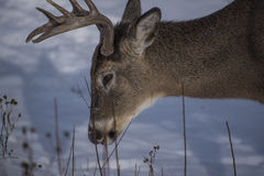 Large buck searches for food Stock Photos
