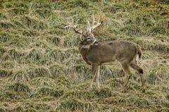 Large buck whitetail deer Royalty Free Stock Photo