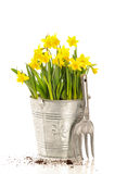 Large Bucket Of Daffodils Stock Photography