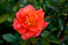 Red rose in drops of dew. A large bud of red rose in drops of morning dew royalty free stock photography