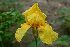 A large bud of a yellow iris flower. A large bud of a blooming yellow iris flower in the garden royalty free stock photography