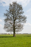Large budding tree in the spring season royalty free stock photo