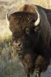Large Buffalo Stock Photo
