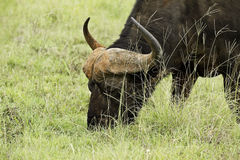Large Buffalo eating Stock Photos