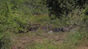 Large buffalos with antlers stand in water on summer day stock video