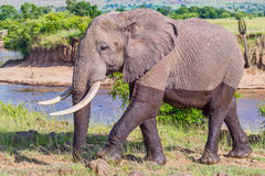 Large Bull African Elephant Wet From River. A huge bull Savanna or Bush African Elephant walking away from the Mara River in Masai Mara, Kenya.  He looks like he Stock Photography