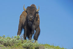 A large bull Bison is highlighted against the sky. Royalty Free Stock Photos