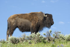 A large bull Bison is highlighted against the sky. Royalty Free Stock Images