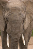 Large bull elephant Stock Images