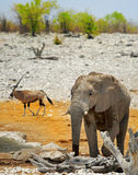A large Bull Elephant  with a Gemsbok Oryx in the background Stock Images