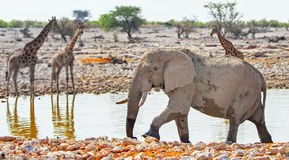 A large Bull elephant and Giraffes in Okaukeujo Stock Photo