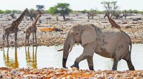 A large Bull elephant and Giraffes in Okaukeujo Stock Photo
