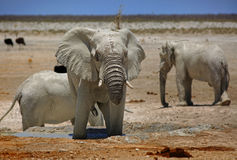 A large Bull elephant near a waterhole in Etosha Stock Images