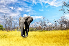 Large Bull Elephant walking across the Dry African Plains in Zimbabwe. A large elephant walking across the dry yellow grass savannah in Hwange National Park stock image