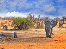 Large Bull Elephant walking on the plains with a buffalo in the background drinking from a waterhole Royalty Free Stock Photography