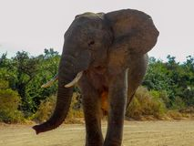 Large bull elephant walking in the road in the Addo Elephant Par. K, South Africa stock photos