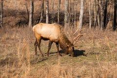 Large bull elk. Stock Photo