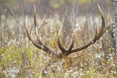 Large bull elk laying in a weed field Stock Images
