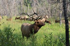 Large Bull Elk, Rocky Mountain National Park. This is a large bull elk in Rocky Mountain National Park, Colorado. He had a large herd of at least 30 stock photos