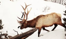 Bull Elk in the Deep Snows of Yellowstone. Large bull elk in the spring snows of Yellowstone National Park Stock Photo