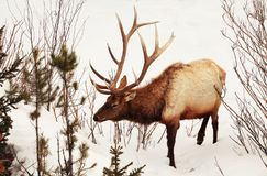 Bull Elk in the Snows of Yellowstone. Large bull elk in the spring snows of Yellowstone National Park Royalty Free Stock Photo