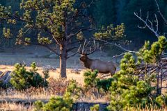 Large Bull Elk Standing in the Meadow royalty free stock photos
