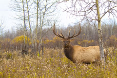 Large bull elk in a weed field on an overcast fall Royalty Free Stock Photography