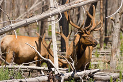 Large Bull Elk Western Animal Wildlife Yellowstone National Park Royalty Free Stock Images