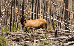 Large Bull Elk Western Wildlife Yellowstone National Park Stock Photography