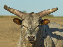 Large Bull. Large mean bull facing you Stock Images