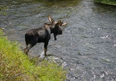 A Large Bull Moose Crosses a Moving River. stock photography