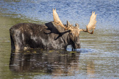Large Bull Moose Foraging at the Edge of a Lake in Autumn Royalty Free Stock Photography