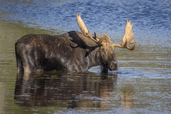 Large Bull Moose Foraging at the Edge of a Lake in Autumn Stock Images