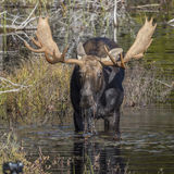 Large Bull Moose Foraging at the Edge of a Lake in Autumn. Bull Moose (Alces alces) with a Large Set of Antlers Foraging at the Edge of a Lake in Autumn stock image