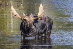 Large Bull Moose Foraging at the Edge of a Lake in Autumn Stock Photos