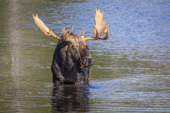 Large Bull Moose Foraging at the Edge of a Lake in Autumn. Bull Moose (Alces alces) with a Large Set of Antlers Foraging at the Edge of a Lake in Autumn stock images
