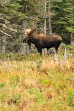 Bull Moose Standing In Field With Trees Royalty Free Stock Photos