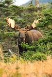Bull Moose Standing In Field With Trees Stock Image