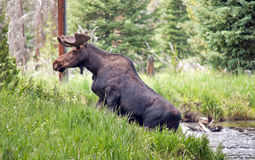 Large Bull Moose in a stream Stock Image